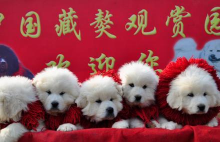 中国藏獒观赏园