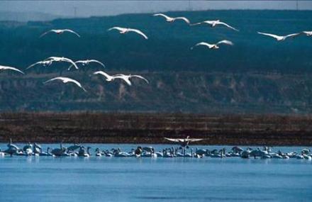 运城天鹅自然保护区