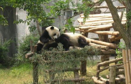 四川省成都市成华区外北三环熊猫大道1375号 -熊猫基地票价 成都熊猫高清图片