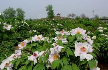 曹州牡丹园