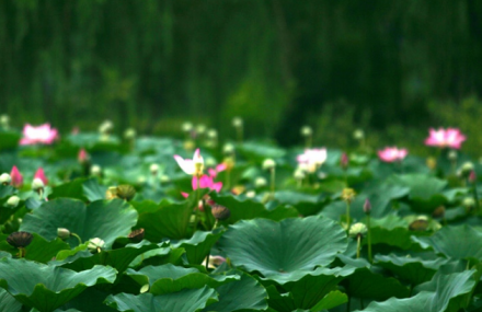 萌山湖荷花生态园